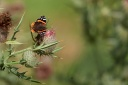 Papillon - Vulcain