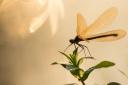 Caloptéryx - Demoiselles